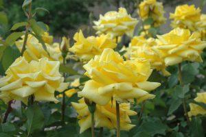 najpiekniejsze krzewy roz